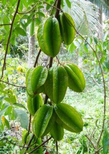 Kỹ thuật trồng khế ngọt