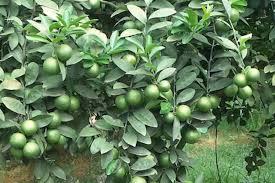 Phương pháp trồng chanh không hạt