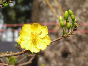 Chăm sóc cây mai vàng trong mùa mưa