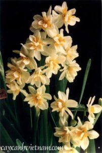 Phương pháp nuôi trồng hoa Thủy tiên và chọn củ hoa để trồng