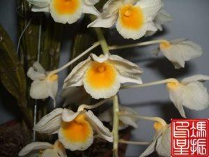 Dendrobium rừng Việt Nam