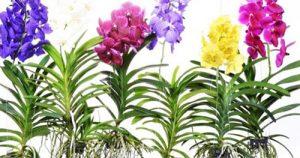 Lan rừng bộ Chi lan Van đa (Vanda)