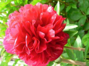 Nét đặc trưng của hoa mẫu đơn